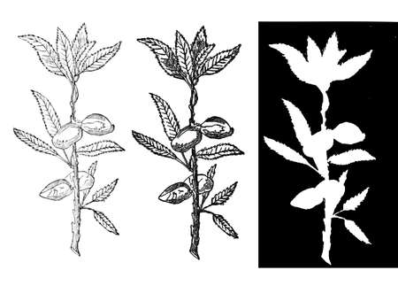 apricot tree: almond branch Illustration