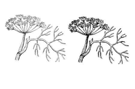 dill: Dill Herb Illustration