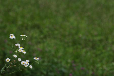 *** Sperem *** 10th sezione _ - Pagina 6 29872054-margherite-in-un-paese-in-giardino-con-uno-sfondo-sfocato