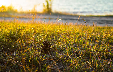 A pine cone that has fallen from a tree lies in the green grass and basks in the warm rays of the sunset, and in the background you can see the sea. Close-up photo