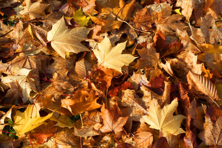 Pile of golden autumn leaves, suitable as a background