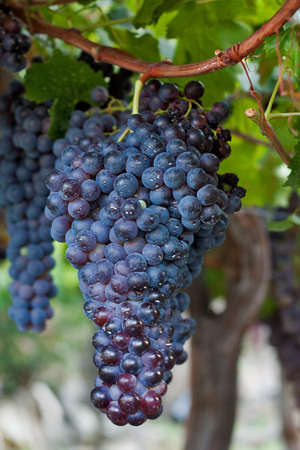 Cluster of dark grapes hanging on a vine in Spain.