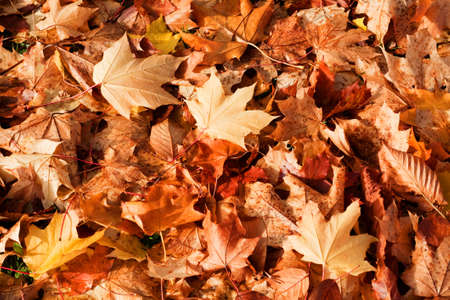 Background of fallen autumn leaves. Stock Photo - 8277960