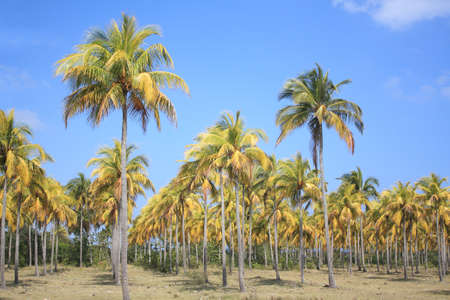 Coconut palm trees in Cuba.