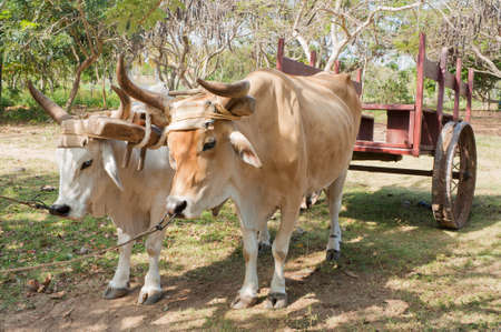 Two oxen used as a means of transport pulling a cart in Cuba. Stock Photo - 10533233