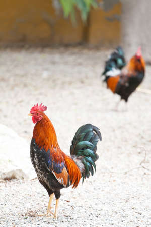 Two roosters or cockerels in a chicken run or yard in Spain, one in focus in the foreground and another in the background with shallow depth of field. Standard-Bild