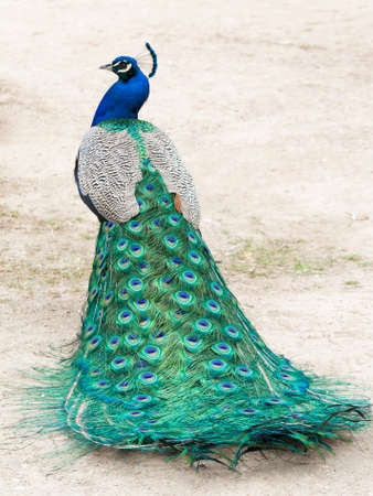 Peacock photographed from behind, showing colourful tail in the foreground and body and head in profile in the background.