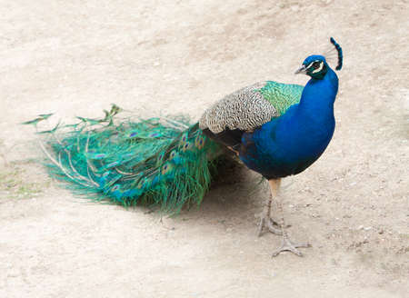 Colourful peacock walking with its tail closed and in profile Stock Photo - 17151284
