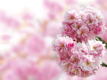 Pink Japanese cherry blossoms in springtime with copy space in the blurred background. Stock Photo - 17599128