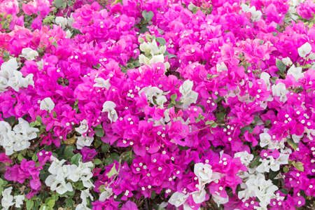 Tiny white bougainvillea flowers with pink and white bracts (family of nyctaginaceae). Stock Photo