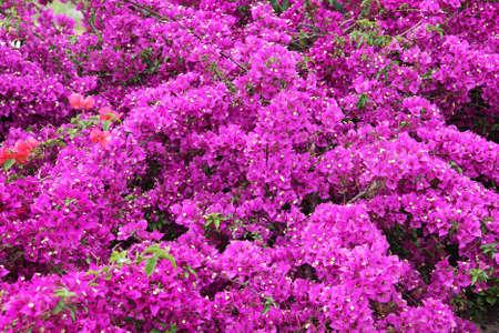 flores fucsia: Pequeñas flores blancas con buganvillas brácteas rosa, familia de Nyctaginaceae. Foto de archivo