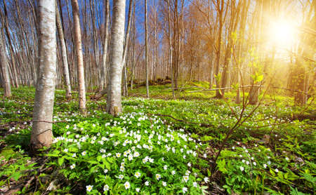Wood with white spring flowers and sunrays. Forest landscape on sunny day Stock Photo