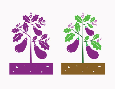 eggplant plant with product and flower