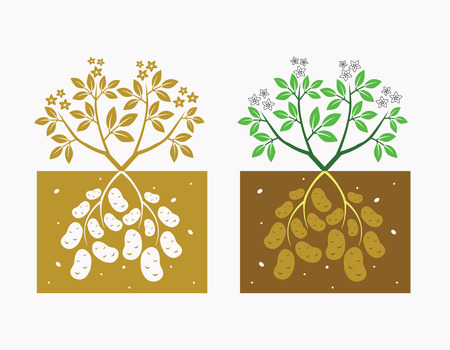 patatas: planta de papa con hojas y tubérculos