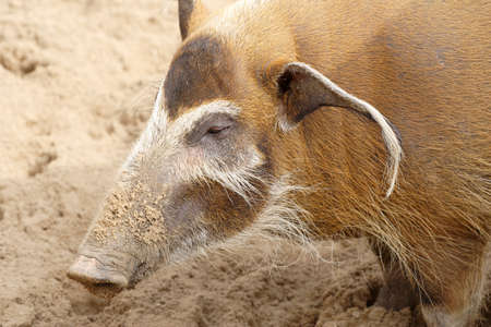 unpleasant: A big wild brown pig Stock Photo