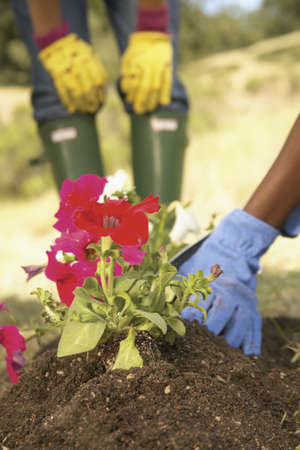 commencing: Woman planting petunias flowers in garden