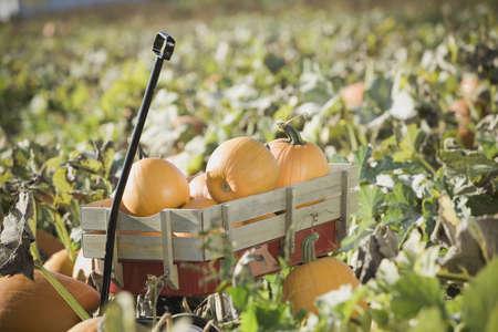 vintage: Wagon full of pumpkins in pumpkin patch