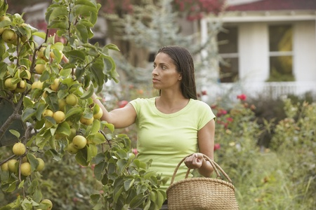 African woman picking fruit with basket