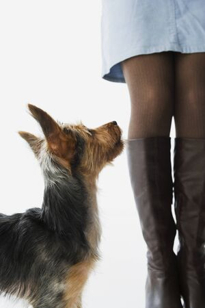 solicitous: Yorkshire Terrier puppy looking up at woman
