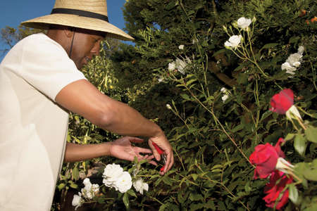 bush trimming: Side profile of a mid adult man trimming a flower bush