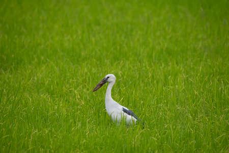 Anastomus oscitans bird in rice field.