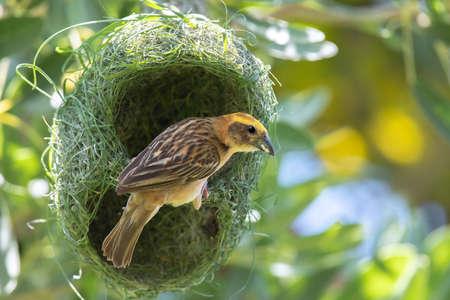 Asian golden weaver bird on nest. Foto de archivo