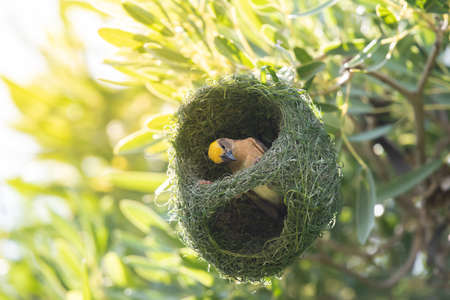 Asian golden weaver bird on nest.