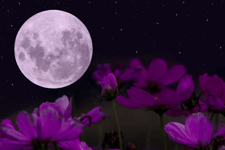 Full moon with purple cosmos flowers in the night.