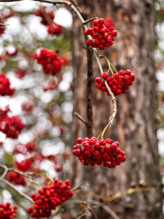 A branch with bunches of mountain ash without leaves on a background of tree bark. Vertical background with bright and ripe rowan berries