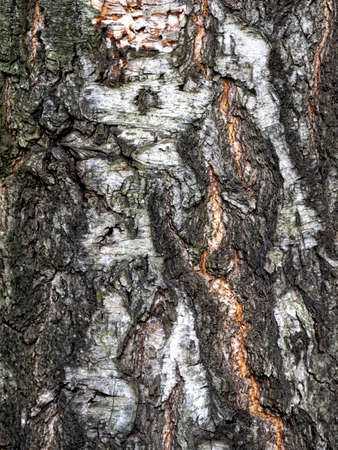 Sinuous roughness on the bark of an old birch. Wood background with natural patterns. Stock fotó