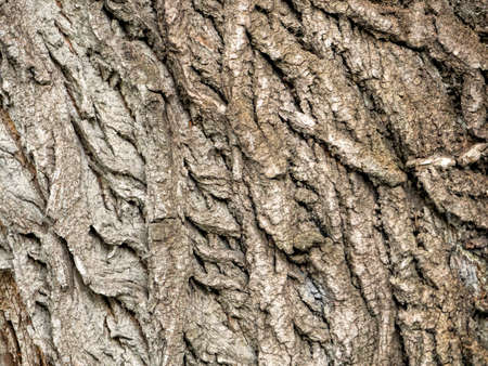 The convex lines on the poplar bark formed an interesting pattern. Wood background from poplar bark