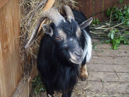 Domestic goat stands in the barn and looks forward. Beautiful goat horns are bent to the back 스톡 콘텐츠