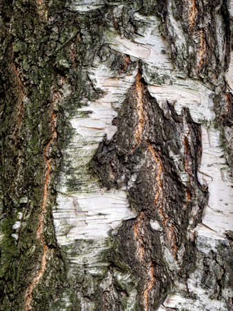 The bark of an old birch with an uneven surface. Birch bark is stratified in some places. Uneven gray white wood background