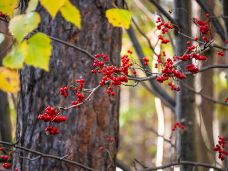 Bright rowan berries are clearly visible in the autumn forest. Yellow birch leaves and red berries look beautiful together. sunny day Reklamní fotografie