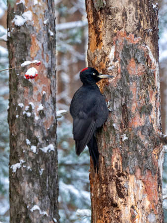 A black woodpecker sits on a dry tree and looks forward. The woodpecker clings tightly. A black woodpecker leans against a tree with its tail. Winter natural background with black woodpecker