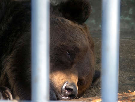 Brown bear sleeps in a cage. Between the grids you can see the face of a predatory animal. Brown bear in captivity.