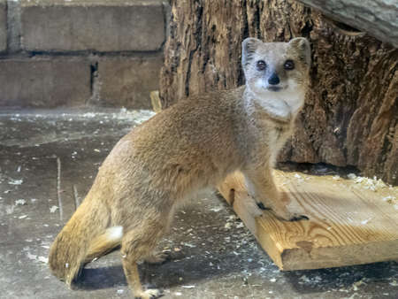 The yellow mongoose has turned and looks up. The front legs of the animal put on the board. Mongoose wool is beige yellow, well-groomed. Imagens