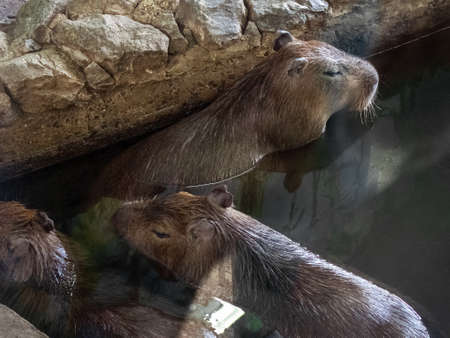 A family of three capybaras. Large rodents swim in the pool. Capybaras have long, stiff hair, a large head and small ears.