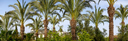 Slender tall date palms grow in a palm grove. Due to the lush leaves, the sky is almost invisible. In the background is a house. Bright south sunny background.