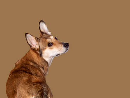 A beautiful brown dog has turned around and looks inquiringly at you with clever eyes. Dog isolated on a beige background.