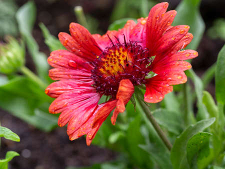 Red gaillardia flower with a yellow center on a green leaf background. Gailardia petals wet from raindrops. Beautiful floral background.