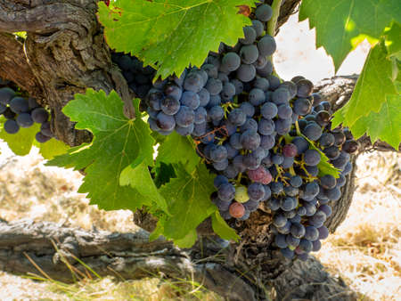 The whole vine is covered with bunches of ripe grapes and leaves. Bright summer background with grapes.