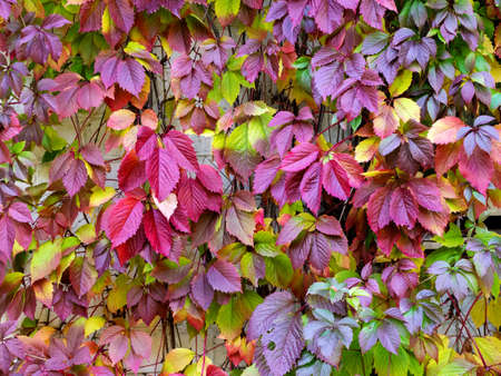 Colorful autumn background with leaves of maiden grapes. Red, green and yellow leaves of different sizes create a beautiful pattern and fill the entire background.