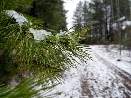 Pine branch with water drops and melted snow against the background of a forest snow-covered road and forest. Natural forest background. Stock fotó