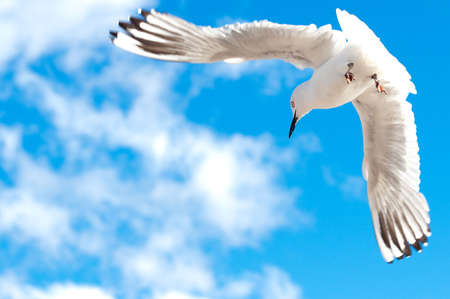 Seagull flying in the sky with wide open wings  Stock Photo