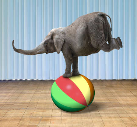 fitness ball: Elephant balancing on a colorful ball, with indoor stage background