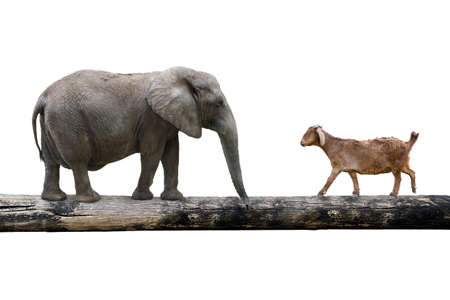 rivalry: Elephant and sheep walking over the single wooden bridge, isolated on white, rivalry concept. Stock Photo