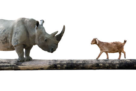 rivalry: Rhinoceros and sheep walking over the single wooden bridge, isolated on white, rivalry concept.