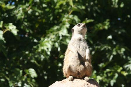 Meerkat smells the air