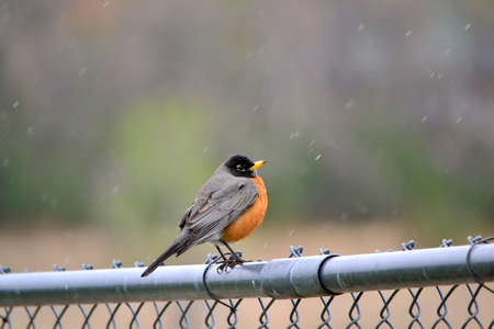 chainlink fence: Spring Red Robin Sitting On A fence Fluffed Up Against A Light Snow